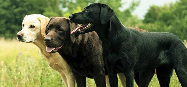 Πώς τα σκυλιά μυρίζονται… τον διαβήτη!
