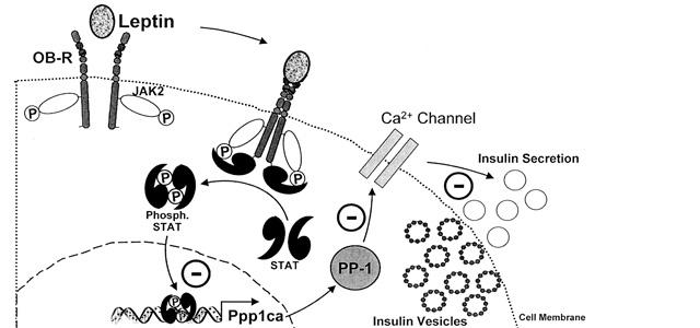 Ο ρόλος της λεπτίνης στο ανοσοποιητικό σύστημα